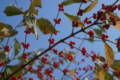 狂放的果子和天空在秋天 免版税库存图片