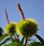 狂放的栗树绿色棘手的荚  免版税库存图片