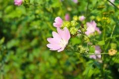 狂放的桃红色冬葵 免版税库存图片