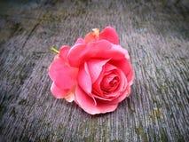 狂放的桃红色唤醒 库存照片