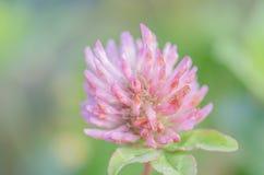 狂放的桃红色在绿草的三叶草花 库存照片
