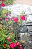 狂放的桃红色玫瑰灌木,在一个石墙附近 图库摄影