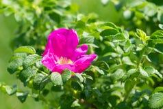 狂放的桃红色玫瑰花 免版税图库摄影