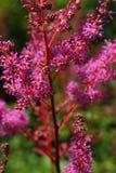 狂放的桃红色花在 blured绿色背景的夏日 免版税库存照片