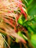 狂放的桃红色花宏观照片  免版税库存图片