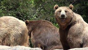 狂放的棕熊在原野 股票视频