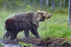 狂放的棕熊摆脱水 库存图片