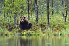 狂放的棕熊& x28;熊属类Arctos & x29;在微明下在夏天森林里 库存图片