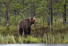 狂放的棕熊& x28;熊属类Arctos & x29;在微明下在夏天森林里 库存照片
