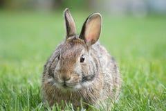狂放的棕色兔宝宝 免版税库存照片