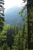 狂放的森林在罗马尼亚 库存图片