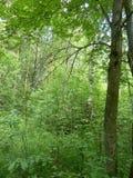 狂放的森林在西北俄罗斯,在圣彼得堡附近 免版税库存照片