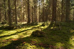 狂放的森林风景背景 库存照片