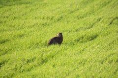 狂放的欧洲野兔它` s同一个天兔座Europaeus,坐春天绿草背景在太阳下 欧洲人布朗Ha 免版税图库摄影
