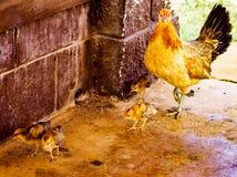 狂放的母亲鸡和婴孩小鸡在夏威夷 免版税图库摄影