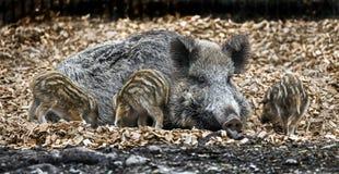狂放的母猪和小猪 图库摄影