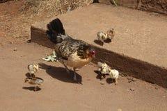 狂放的母鸡和小鸡在夏威夷 库存照片