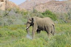 狂放的沙漠大象在纳米比亚非洲 免版税库存图片
