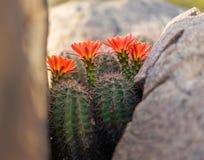 狂放的沙漠春天绽放仙人掌花 免版税库存照片