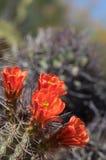 狂放的沙漠春天绽放仙人掌花 免版税库存图片