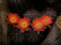 狂放的沙漠春天绽放仙人掌花 库存图片