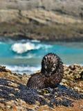 狂放的海狮幼崽照料它的毛皮在Wharariki海滩,新西兰 免版税库存图片