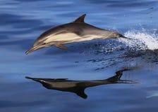 狂放的海豚反射 免版税库存图片