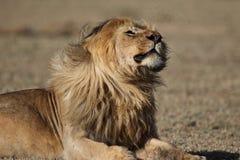狂放的漫游的非洲男性狮子画象 免版税库存图片