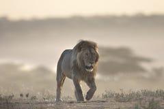狂放的漫游的非洲男性狮子画象 图库摄影