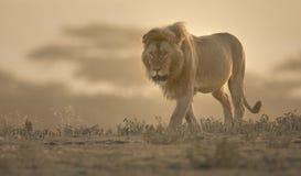 狂放的漫游的非洲男性狮子画象 免版税库存照片