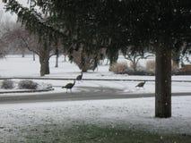 狂放的火鸡马礼逊公园博伊西爱达荷 免版税图库摄影