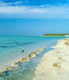 狂放的灰色苍鹭和海滩,马尔代夫 免版税库存照片
