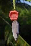 狂放的热带香蕉开花花 库存图片