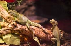 活狂放的爬行动物蜥蜴射击特写镜头 免版税图库摄影