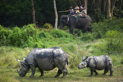 狂放的犀牛` s家庭 免版税库存图片