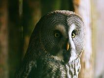 狂放的猫头鹰画象或关闭图片在动物园里 免版税图库摄影