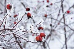 狂放的玫瑰丛分支在树冰的在与红色berri的冬天 库存照片