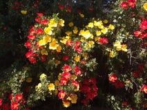 狂放的玫瑰丛多彩多姿和绿色叶子 库存照片