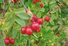 狂放的玫瑰色种子在庭院里 免版税库存图片