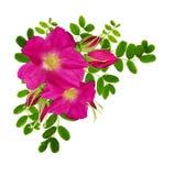 狂放的玫瑰色花、芽和绿色peashrub叶子在壁角arra 免版税库存照片