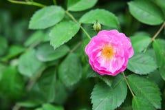 狂放的玫瑰色花在庭院里 免版税库存照片