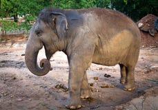 狂放的生活大象本质上 免版税库存图片