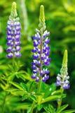狂放的生长在夏天的桃红色紫色紫罗兰色蓝色羽扇豆调遣 图库摄影