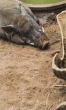 狂放的男性公猪休息顶头射击在农场 野生生物在自然生态环境 图库摄影
