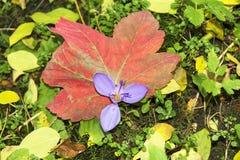 狂放的番红花花在森林 库存照片