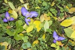 狂放的番红花花在森林 库存图片