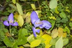 狂放的番红花花在森林 免版税库存照片