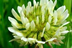 狂放的白三叶草开花 库存照片