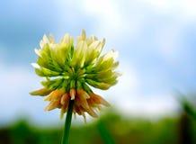 狂放的白三叶草开花 库存图片