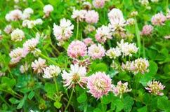 狂放的白色和桃红色三叶草花 图库摄影